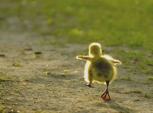 baby-steps-duck-500x372